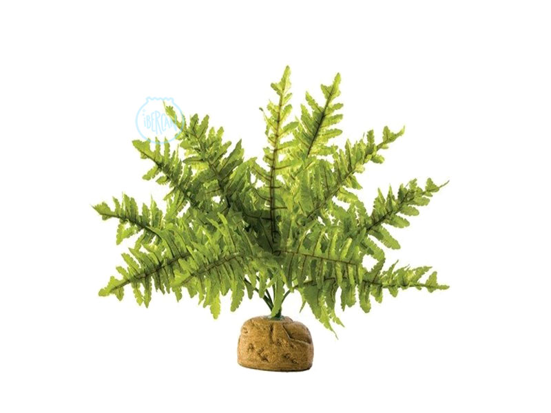Las plantas con base Bostón son ideales para terrarios