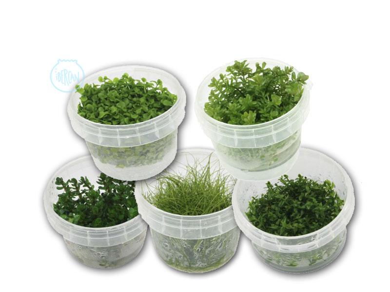 Plantas acuario medias in vitro
