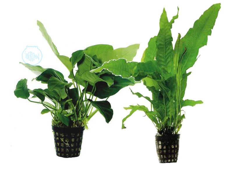 Plantas en maceta para acuario listas para introducir en el agua